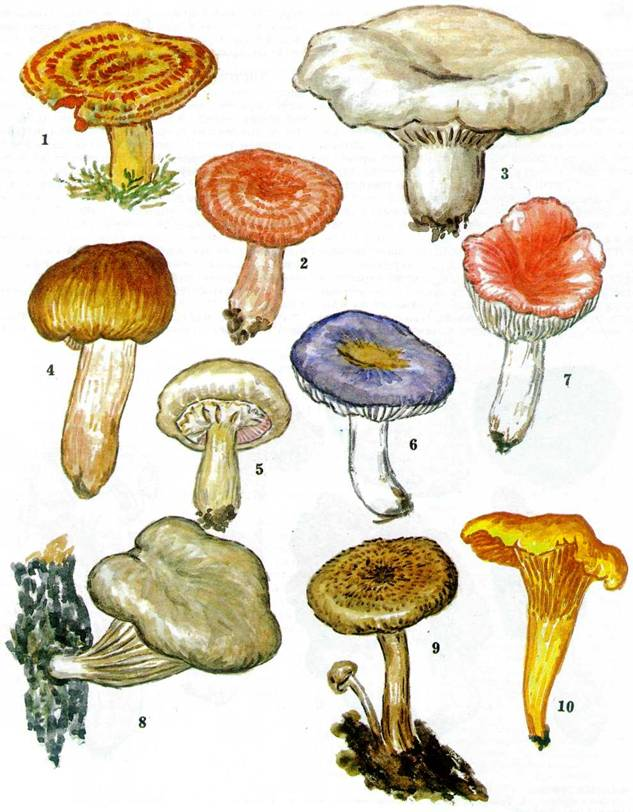 съедобные грибы рисунки вместе