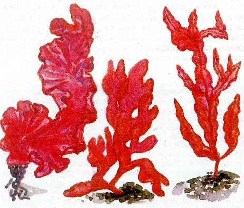 В Японии деликатесом считается блюдо под названием...  Красные водоросли, или багрянки (слева направо): порфира...