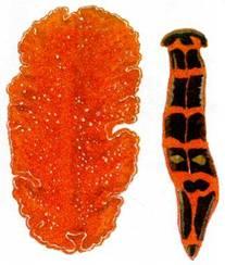 плоские черви паразиты человека видео