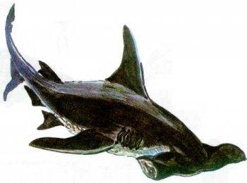 Акула атакует всё, что кажется ей возможной добычей: рыбу,черепах...