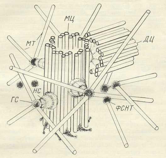 Способность центриолей