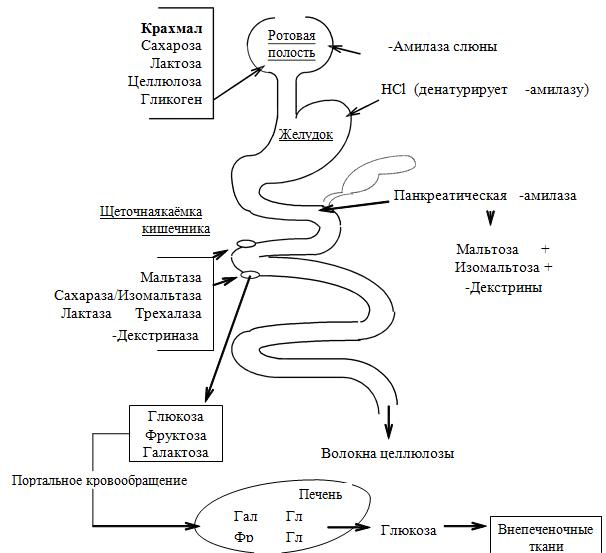 Холецистокинин фото