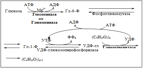 Синтез гликогена схема