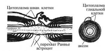 В процессе роста периферических нервов, их навигации и достижения...