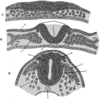 Намного сложнее устроена нервная система у головоногих, большинство из которых являются хищниками и ведут подвижный...