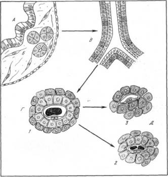 Схема этапов эволюции форм структурной организации эндокринной части поджелудочной железы позвоночных.