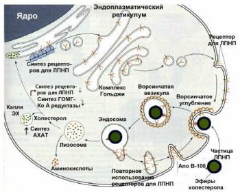 Схема поступления в клетки ЛПНП.  Контролирующие механизмы координируют использование внутри- и внеклеточных...