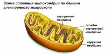 Митохондрии и рибосомы.